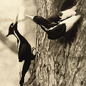 If only Elmer could have captured such a photo! Photo retried from The Cornell Lab for Ornithography: The Search for the Ivory-Billed Woodpecker