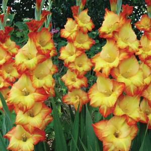 Princess Margret Rose gladiolus